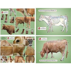 Picture of Bovine/Cow Acupoint Chart (CH24)